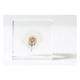 Dried Dandelion Enclosed in clear Acrylic Cube